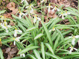 Galanthus nivalis 'Wendys Gold'