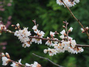 Prunus conradinae (hirtipes)