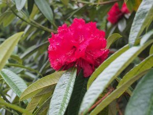 Blood Red arboreum