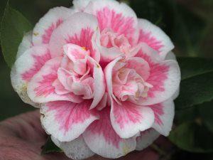 Camellia 'Look Away'