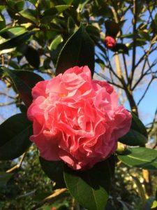 Camellia 'Mona Jury'