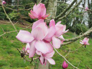 sister seedling (ie from same seedpod) of Magnolia 'Caerhays Splendour'
