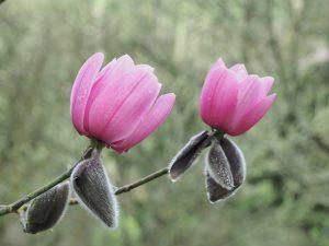 Magnolia 'Charles Raffil'