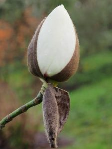 Magnolia 'Mount Pironga'