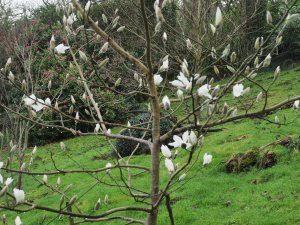 Magnolia zenii 'Pink Parchment'