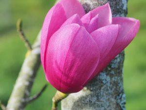 Magnolia 'Aurora'