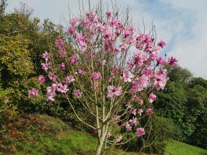 Magnolia 'JC Williams'