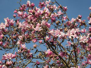 magnolias above the wall