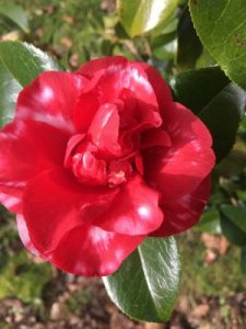 Camellia 'Midnight Variegated'