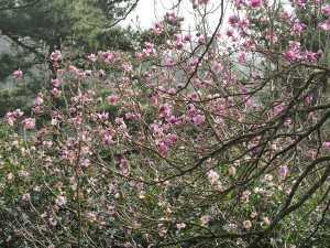 magnolias along Bond Street