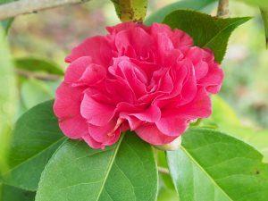 Camellia reticulata 'Miss Tabulare'