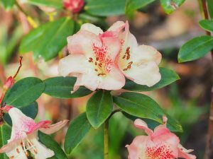 Rhododendron Golden Oriole Group – 'Talavera'