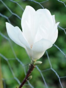 Magnolia denudata 'Double Diamond'