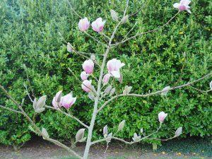 Magnolia 'Rebeccas Perfume'