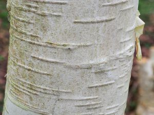 Betula 'Greyswood Ghost'
