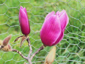 Magnolia 'Amethyst Flame'