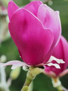 Magnolia 'Black Tulip' x 'Purple Dream'