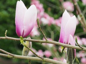 Magnolia 'Holywell'