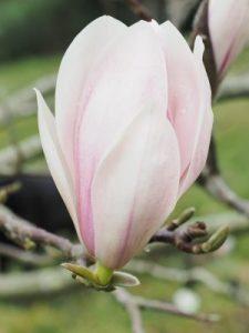 Magnolia 'Candy Cane'