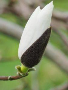 Magnolia 'Delicatissima'