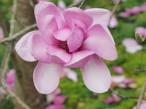 Magnolia 'Eleanor May'