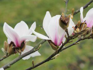 Magnolia 'Fire Glow'