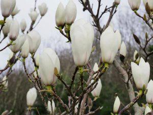 Magnolia 'Manchu Fan'
