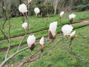 Magnolia 'Pickards Crystal'