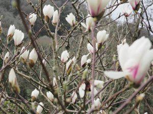 Magnolia 'Pink Flamingo'
