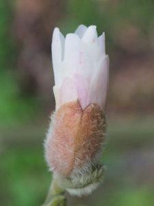 Magnolia x loebneri 'Pink Cloud'
