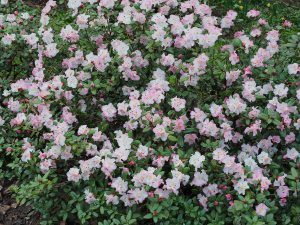 Rhododendron moupinense