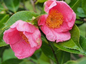 Camellia 'Hooker'