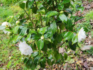 Camellia 'Primavera'