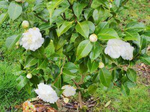 Camellia 'Silver Ruffles'