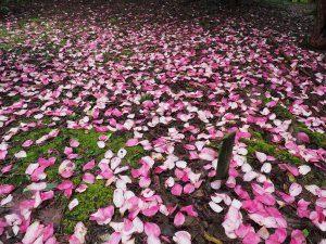 Magnolia 'Caerhays Philip'