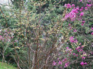 Lindera cercidifolia