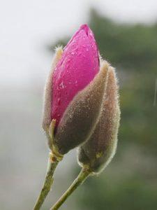 Magnolia 'Black Tulip' x 'JC Williams'