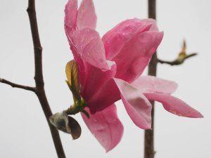 Magnolia 'Westonbirt'