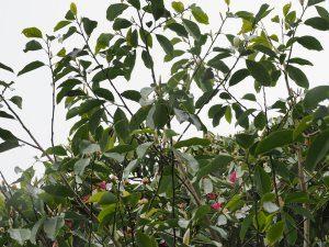 Michelia maudiae