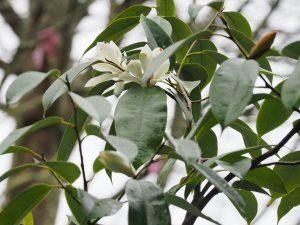 Michelia (as I still insist it is) floribunda var. tonkinensis