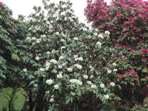 Rhododendron grande