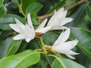 Michelia macclurei