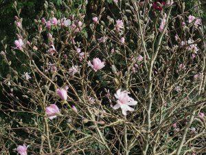Magnolia stellata 'Chrysanthenumiflora'