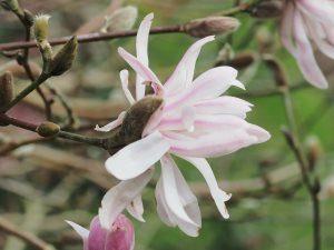 Magnolia stellata 'Kiskei'