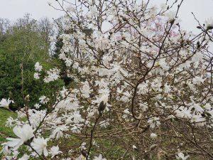 Magnolia stellata 'Water Lily'
