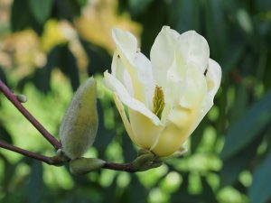 Magnolia 'Sunray'