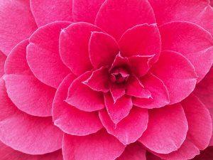 Camellia 'Free Spirit'