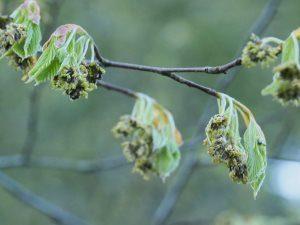 Fagus asplenifolia