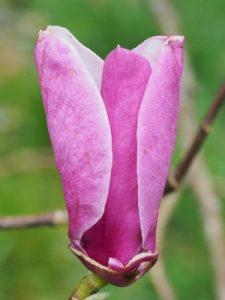 Magnolia 'Millie Gaylon'