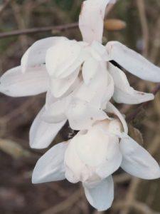 Magnolia stellata 'Centennial'